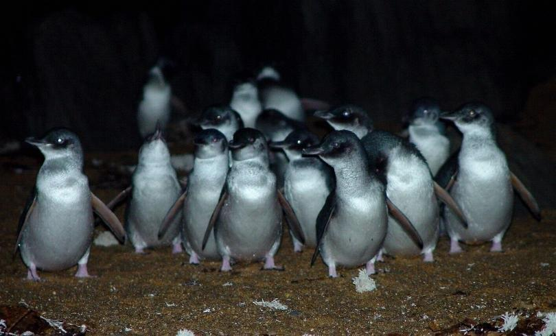 Low Head Penguin Tour Tasmania Australia