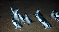 Low Head Penguin Tour