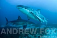 4 Night Great White Expedition