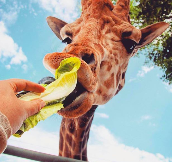 Giraffe Safari Gift Card