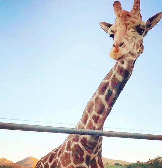 Giraffe Tour