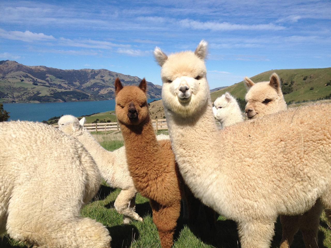 *Akaroa - Shamarra Alpacas Farm Tour PLUS a 3 hour local sightseeing highlights tour with a local included, then return to Akaroa for 2 to 5 people