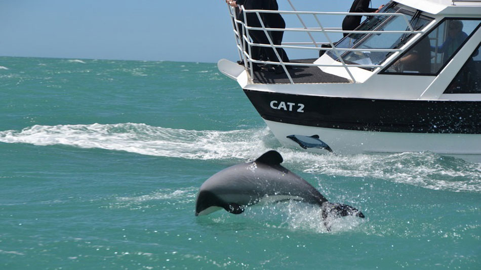 Akaroa Harbour Cruise to see Hector's Dolphins