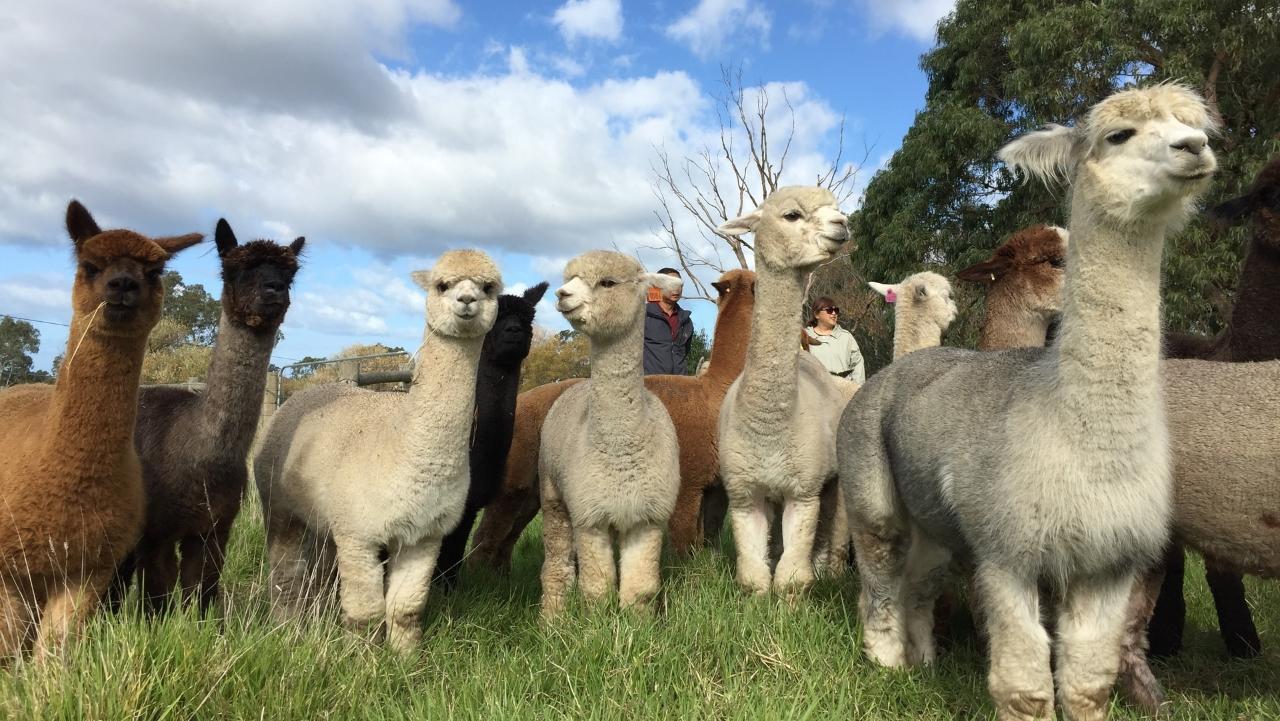 Alpaca Farm Tour 1 hour