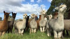Alpaca Farm Tour 1 hour