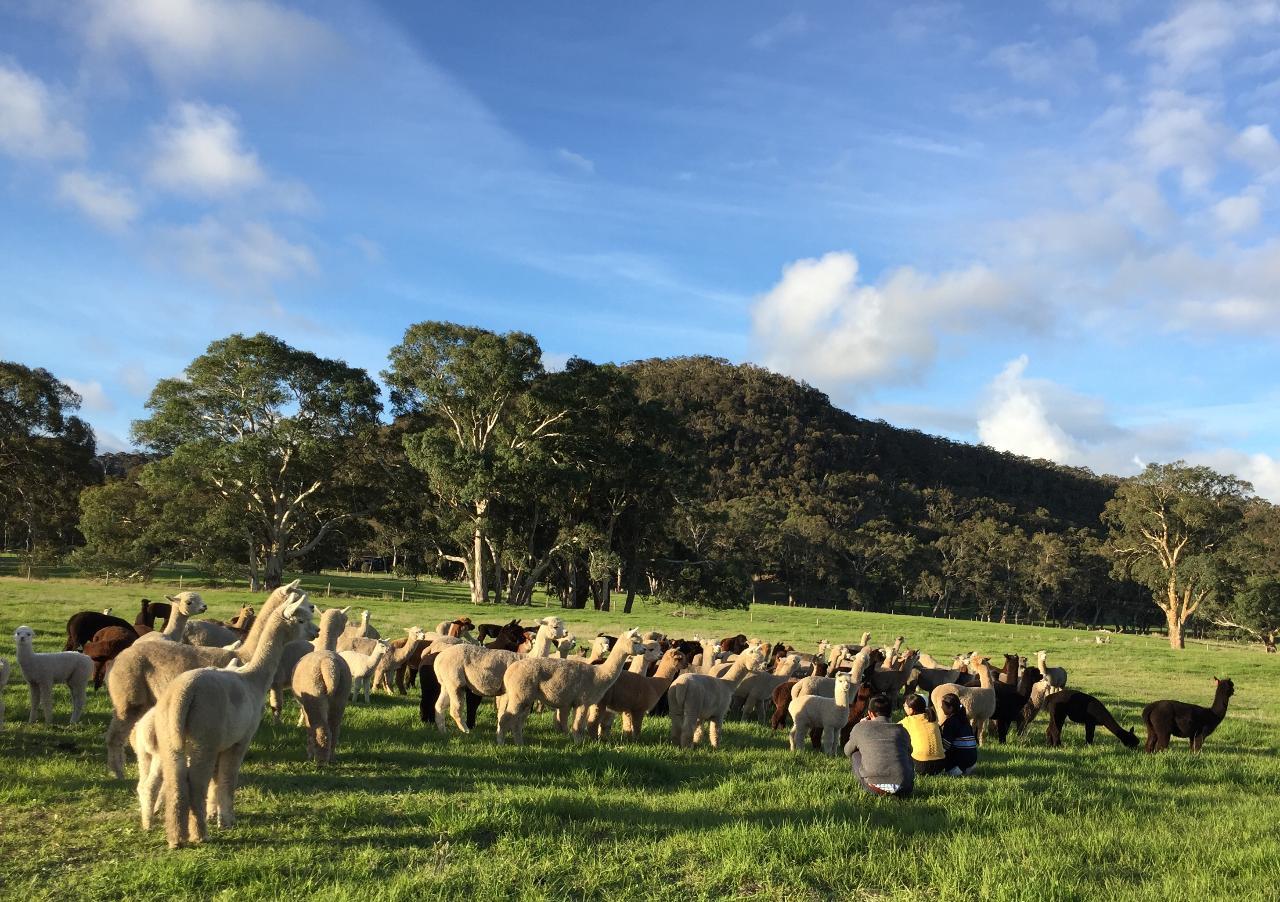 Alpaca Farm 2 hour Tour