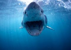 Great White Shark Diving Express