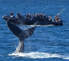 Whale Watching SAFARI onboard Ocean Extreme (Circular Quay)