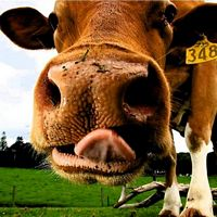 Maleny Dairies & Kenilworth Cheese - Day Tour
