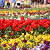 9 Day Canberra Floriade (Departs 27/09/17)