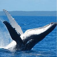 Whale Watch in Hervey Bay - Day Tour