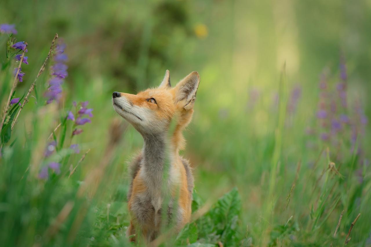 Trilho da Raposa:: The Fox Trail