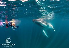 Ningaloo Humpback Whale Swim on a Sailing Catamaran