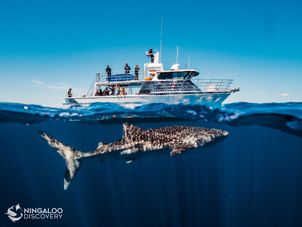 Ningaloo Whale Shark Swim on a Powerboat