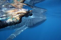 Ningaloo Whale Shark Swim & Discovery Tour