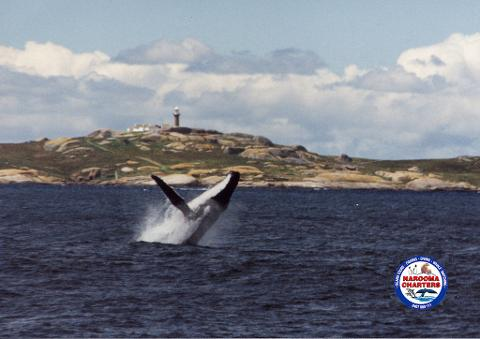Montague Island, Whale Watch &, Seals Tour 8:00 am   (Landing on Island)