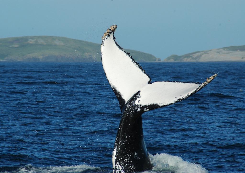 Montague Island, Whale Watch &, Seals Tour 1:00 pm   (Landing on Island)