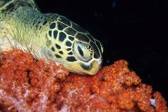 SSI Sea Turtle Ecology Specialty