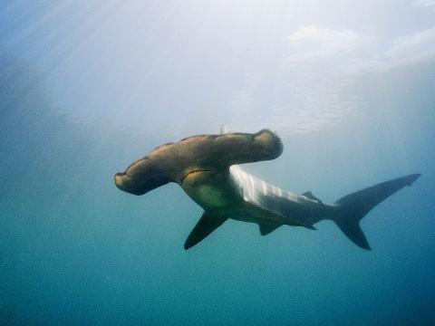 The Hammer Head Shark Experience Dive Charter