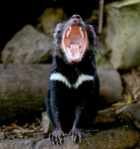 Three Capes and Tasman Peninsula Tasmanian Devil Experience