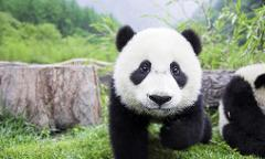 Chengdu Panda Day Tour with A Flexible Downtown Site