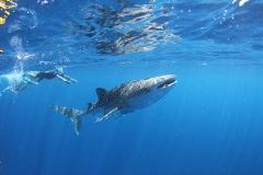Whale Sharks & Humpback Whales Eco Tour - September to October