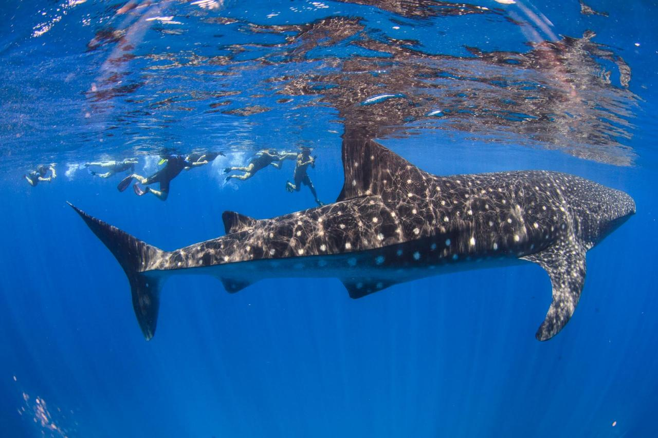 Swimming with Whale Sharks - 15th March to 30th August