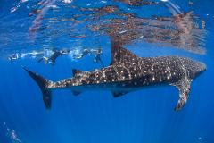 Swimming with Whale Sharks -  15th March to 30th August 2021