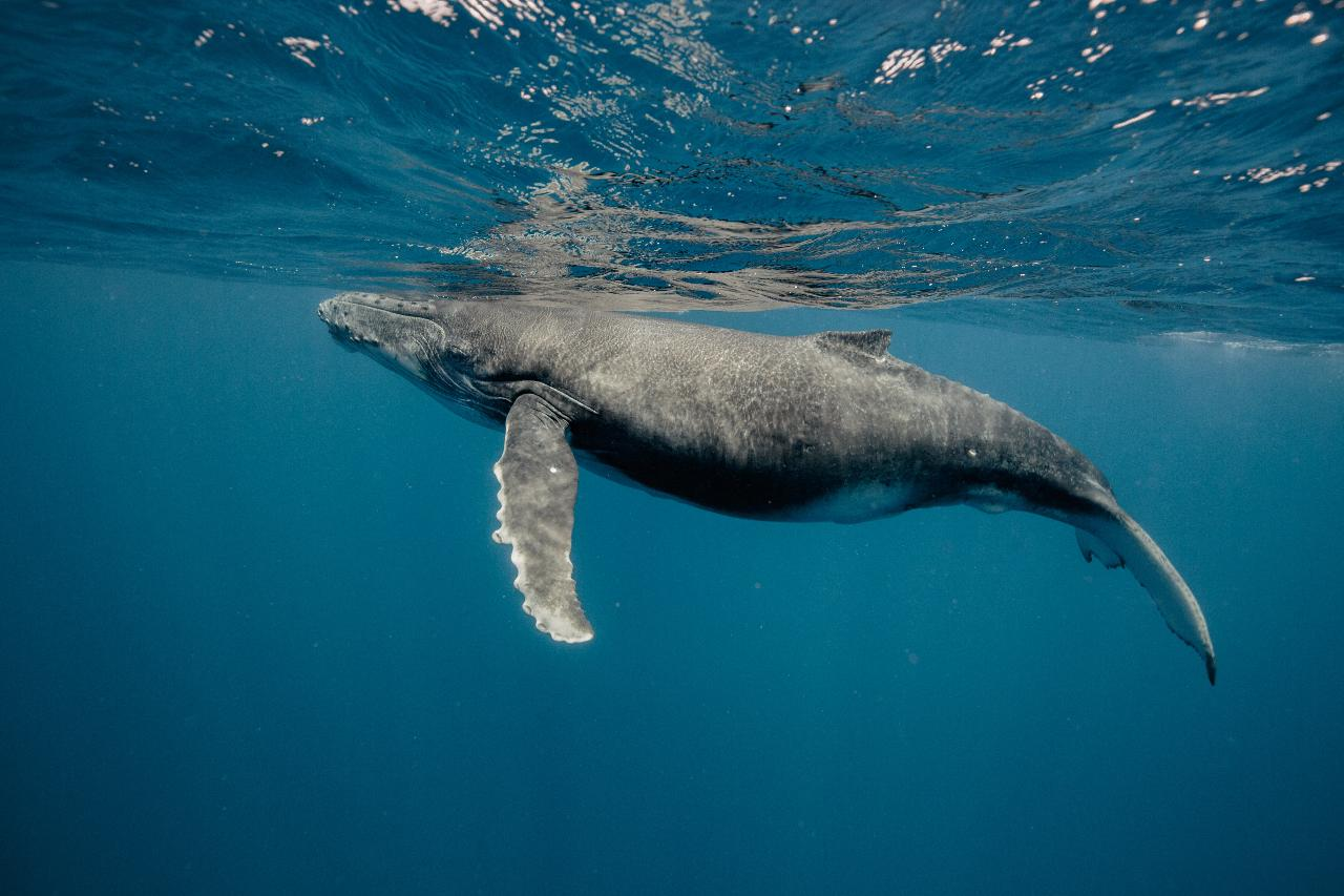 Humpback Whales Interaction Tours - Ningaloo Reef!