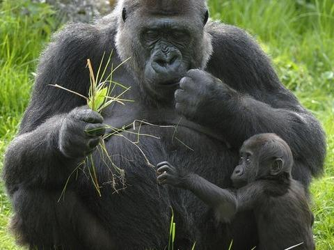 Congo Gorillas Encounter and Louna National Park Safari