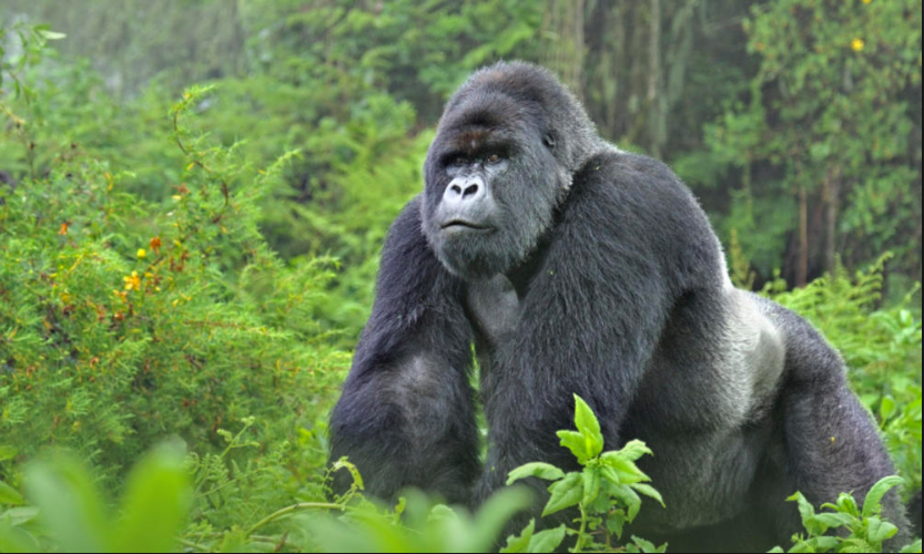Virunga National Park, Gorillas, and Volcano - Budget Tour