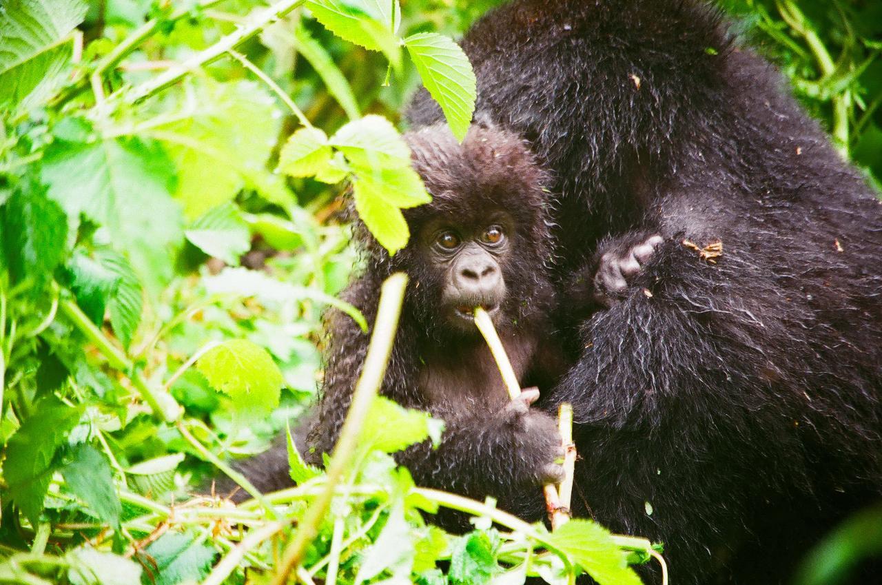 Kigali to Goma: Nyiragongo Volcano, Gorilla Trekking, Pygmies, Gisenyi