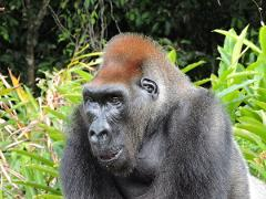 Congo Gorillas and Louna National Park Overnight Tour