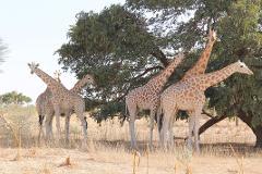 Kouré Wild Giraffes 1 Day Visit