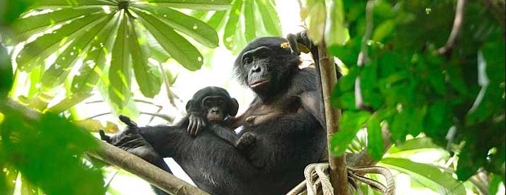 8 DAYS TRIP TO WILD BONOBOS VIA CONGO RIVER PROPER & TCHUMBIRI