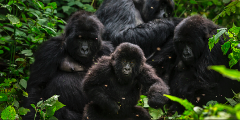 Virunga Mountain Gorilla Tour - 2 Day Overnight Tour from Goma (Permit Included)