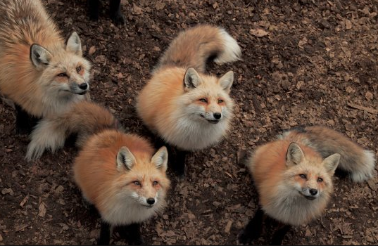 Japan Fox Village Visit: Tour from Tokyo