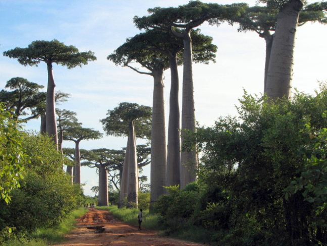 "Morondava Best Day Tour: Kirindy Park (""Foret Kirindy"") + Baobab Lovers (""Amoureux"") + Baobab Avenue (""Allee Des Baobabs"")"