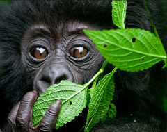 Kahuzi Beiga Lowland 2 Day Overnight Tour and Gorilla Trek from Bukavu (Permit Included)