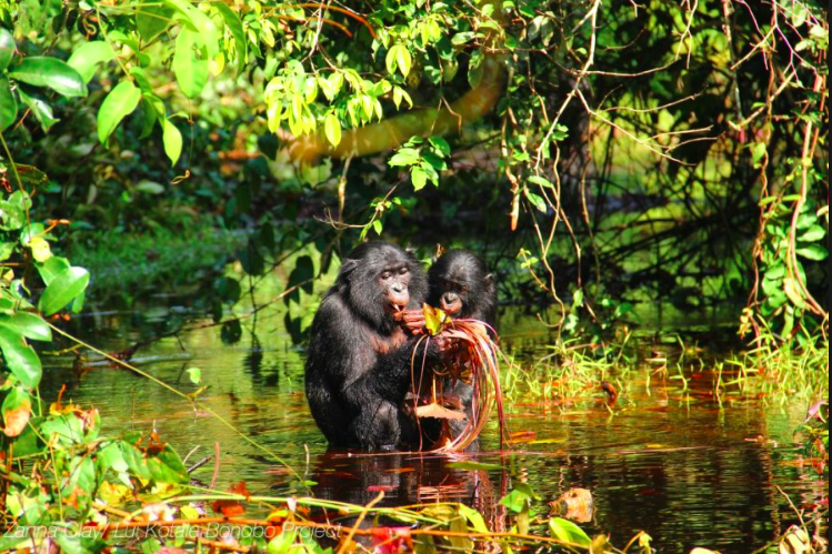 15 DAY TRIP TO WILD BONOBOS IN FRONTIER ABYSSAL ZONE AND DEEP JUNGLE