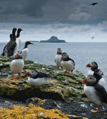 Wildlife cruise, Treshnish Isles and Staffa Tour 2017