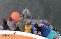 Staffa & Fingals Cave Wildlife Tour (Sails August to Oct)