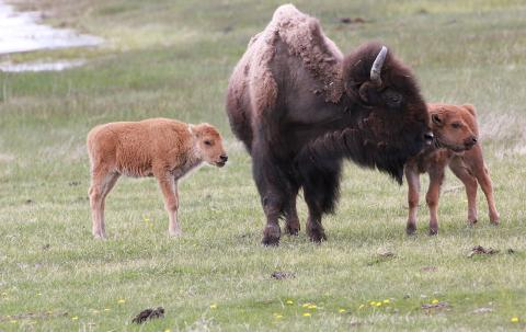 Yellowstone Lower and Upper Loops Tour from Jackson Hole.  Private tours for  1 to 5.