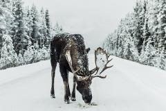 An Exciting Wildlife Safari Down A Scenic Snowy Road - Without Food