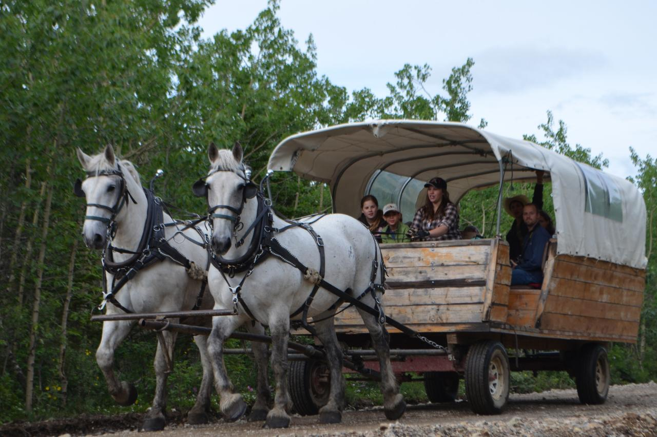 draft horse drawn covered wagon stampede excursions reservations