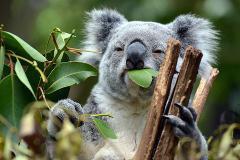 Brisbane Afternoon Highlights Tour and Koala Sanctuary Visit