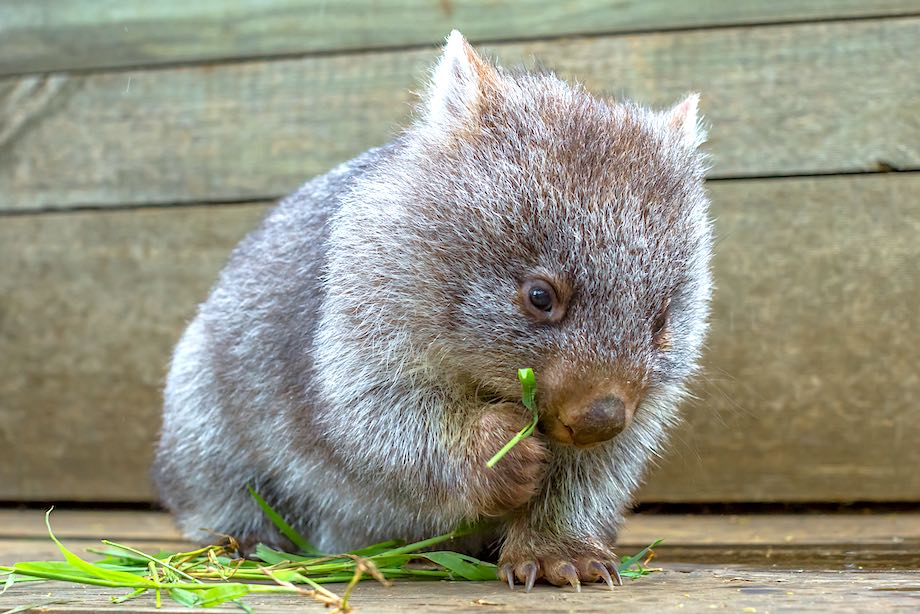 Richmond and Bonorong Wildlife Sanctuary Tour from Hobart