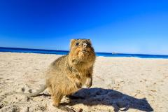 Perth Hop On Hop Off Bus and Rottnest Island Cruise Combo