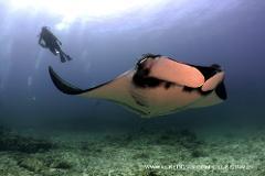 Giant Mantas Dive