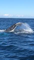 Whale Watching Broken Bay